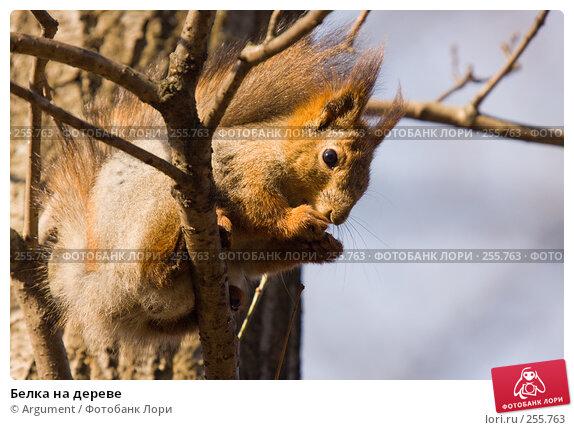 Белка на дереве, фото № 255763, снято 5 апреля 2008 г. (c) Argument / Фотобанк Лори