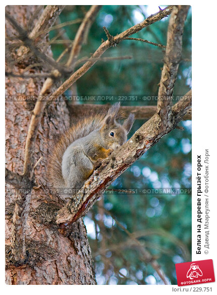 Белка на дереве грызёт орех, фото № 229751, снято 22 марта 2008 г. (c) Давид Мзареулян / Фотобанк Лори