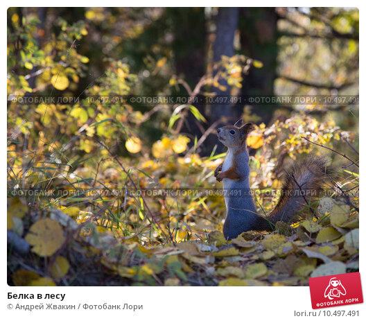 Белка в лесу. Стоковое фото, фотограф Андрей Жвакин / Фотобанк Лори