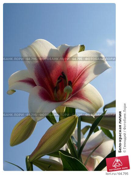 Бело-красная лилия, фото № 64795, снято 21 июля 2007 г. (c) Геннадий / Фотобанк Лори