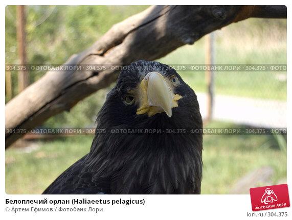 Белоплечий орлан (Haliaeetus pelagicus), фото № 304375, снято 4 мая 2008 г. (c) Артем Ефимов / Фотобанк Лори