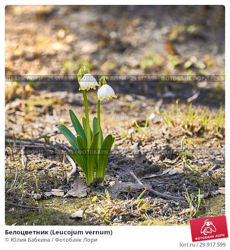 Купить «Белоцветник (Leucojum vernum)», фото № 29917599, снято 15 апреля 2018 г. (c) Юлия Бабкина / Фотобанк Лори