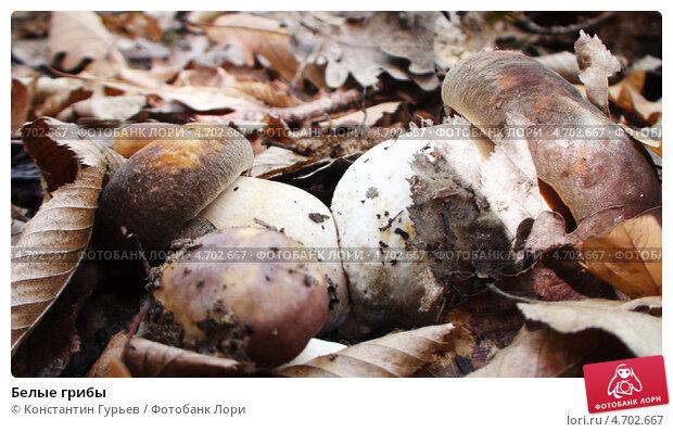 Белые грибы. Стоковое фото, фотограф Константин Гурьев / Фотобанк Лори