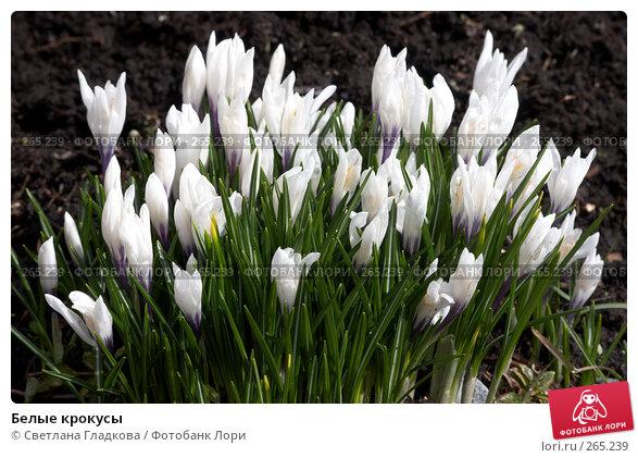 Белые крокусы, фото № 265239, снято 22 апреля 2006 г. (c) Cветлана Гладкова / Фотобанк Лори