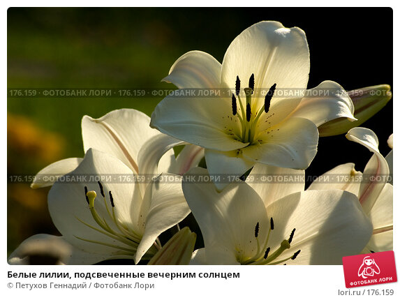 Белые лилии, подсвеченные вечерним солнцем, фото № 176159, снято 24 июля 2007 г. (c) Петухов Геннадий / Фотобанк Лори