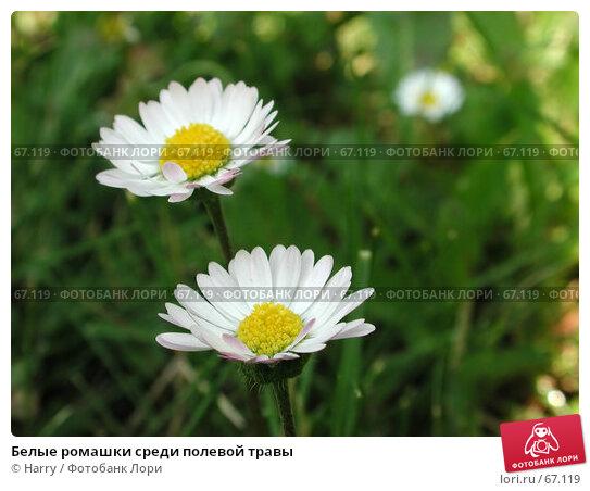 Белые ромашки среди полевой травы, фото № 67119, снято 12 июня 2004 г. (c) Harry / Фотобанк Лори