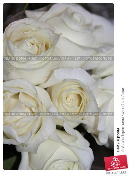 Белые розы, эксклюзивное фото № 1587, снято 10 сентября 2005 г. (c) Ирина Терентьева / Фотобанк Лори