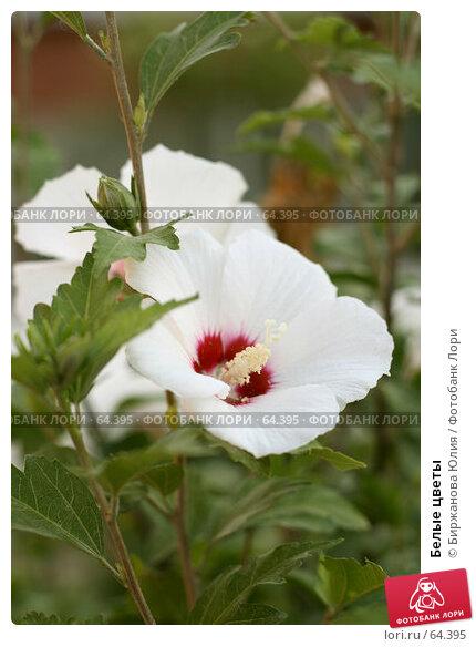 Белые цветы, фото № 64395, снято 3 июля 2007 г. (c) Биржанова Юлия / Фотобанк Лори