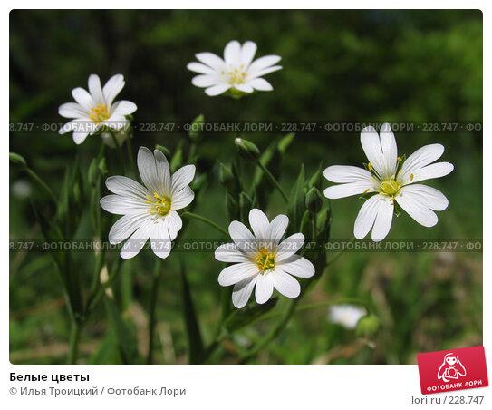 Белые цветы, фото № 228747, снято 14 мая 2007 г. (c) Илья Троицкий / Фотобанк Лори