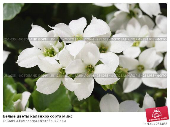 Белые цветы каланхоэ сорта микс, фото № 251035, снято 12 апреля 2008 г. (c) Галина Ермолаева / Фотобанк Лори