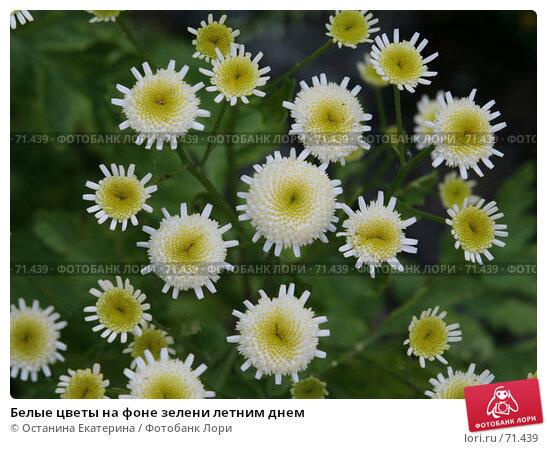 Белые цветы на фоне зелени летним днем, фото № 71439, снято 10 августа 2007 г. (c) Останина Екатерина / Фотобанк Лори