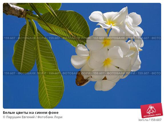 Купить «Белые цветы на синем фоне», фото № 159607, снято 25 марта 2018 г. (c) Парушин Евгений / Фотобанк Лори