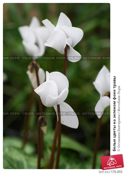 Белые цветы на зеленом фоне травы, фото № 176855, снято 24 июля 2007 г. (c) Останина Екатерина / Фотобанк Лори