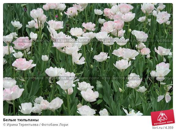 Белые тюльпаны, эксклюзивное фото № 4359, снято 29 мая 2006 г. (c) Ирина Терентьева / Фотобанк Лори