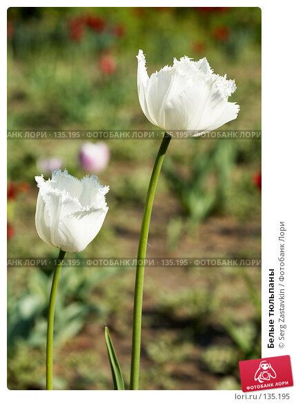 Белые тюльпаны, фото № 135195, снято 8 июня 2006 г. (c) Serg Zastavkin / Фотобанк Лори