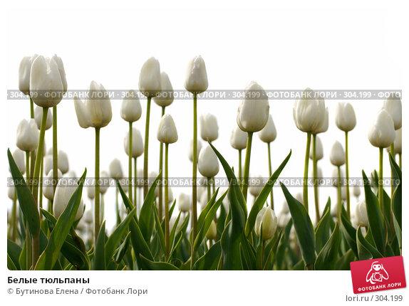 Белые тюльпаны, фото № 304199, снято 19 мая 2008 г. (c) Бутинова Елена / Фотобанк Лори