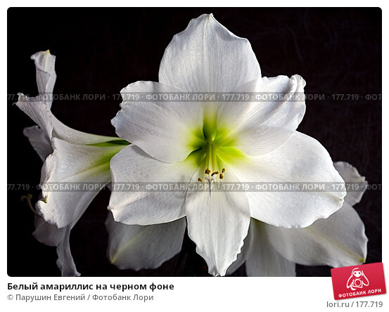 Белый амариллис на черном фоне, фото № 177719, снято 29 апреля 2017 г. (c) Парушин Евгений / Фотобанк Лори