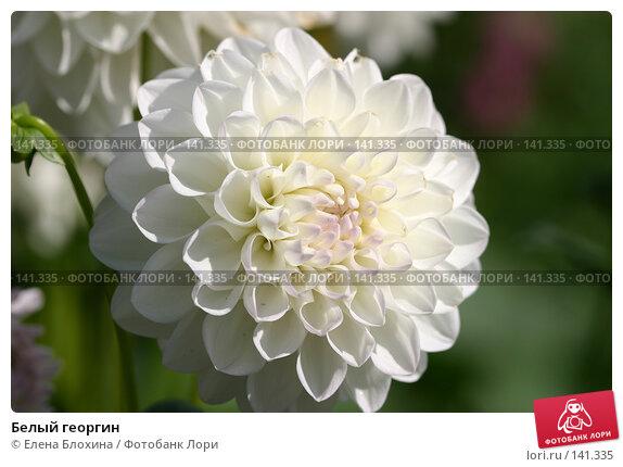 Купить «Белый георгин», фото № 141335, снято 26 августа 2007 г. (c) Елена Блохина / Фотобанк Лори
