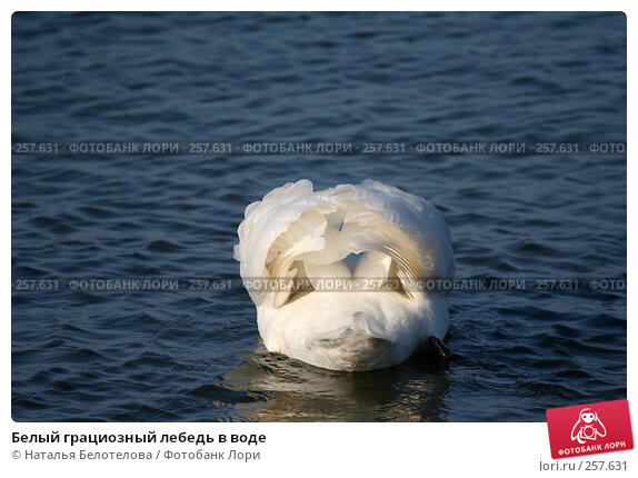 Белый грациозный лебедь в воде, фото № 257631, снято 29 марта 2008 г. (c) Наталья Белотелова / Фотобанк Лори