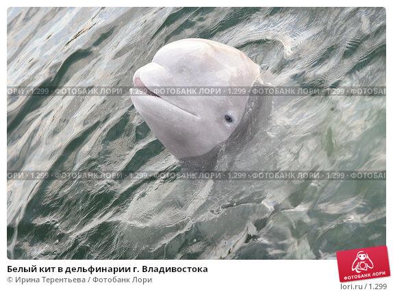 Белый кит в дельфинарии г. Владивостока, эксклюзивное фото № 1299, снято 15 сентября 2005 г. (c) Ирина Терентьева / Фотобанк Лори