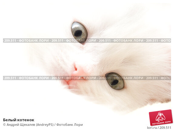 Белый котенок, фото № 209511, снято 25 февраля 2008 г. (c) Андрей Щекалев (AndreyPS) / Фотобанк Лори