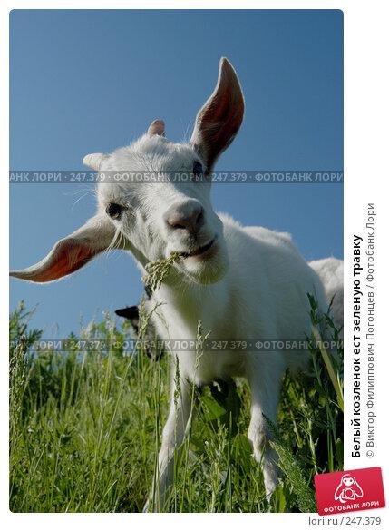 Белый козленок ест зеленую травку, фото № 247379, снято 8 мая 2004 г. (c) Виктор Филиппович Погонцев / Фотобанк Лори