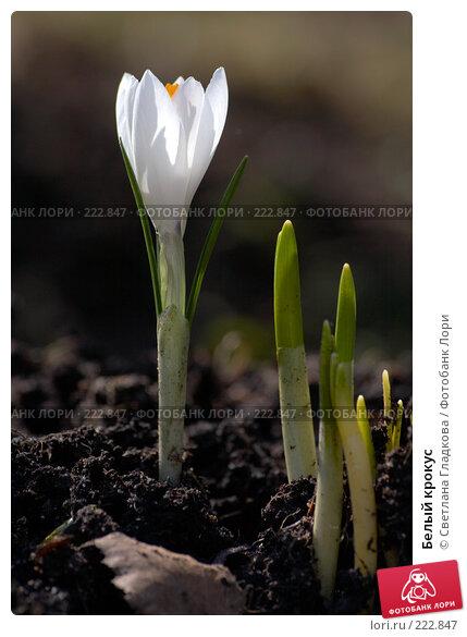 Белый крокус, фото № 222847, снято 30 апреля 2006 г. (c) Cветлана Гладкова / Фотобанк Лори