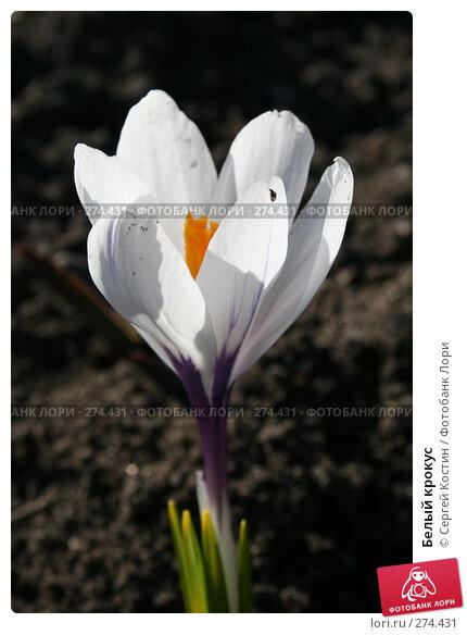 Белый крокус, фото № 274431, снято 3 мая 2008 г. (c) Сергей Костин / Фотобанк Лори