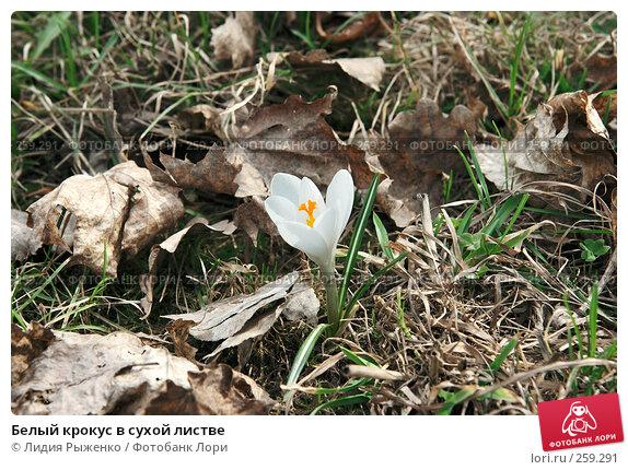 Белый крокус в сухой листве, фото № 259291, снято 11 апреля 2008 г. (c) Лидия Рыженко / Фотобанк Лори