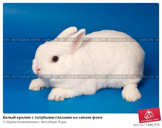 Купить «Белый кролик с голубыми глазами на синем фоне», фото № 1840579, снято 10 июля 2010 г. (c) Ирина Кожемякина / Фотобанк Лори