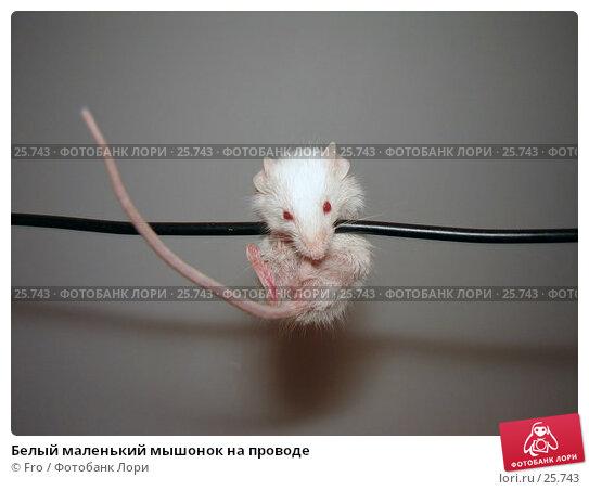Белый маленький мышонок на проводе, фото № 25743, снято 18 марта 2007 г. (c) Fro / Фотобанк Лори