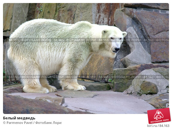Белый медведь, фото № 84163, снято 4 сентября 2007 г. (c) Parmenov Pavel / Фотобанк Лори