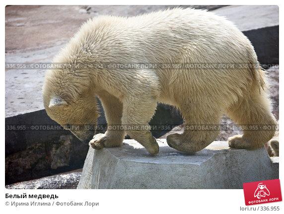 Белый медведь, фото № 336955, снято 21 июня 2008 г. (c) Ирина Иглина / Фотобанк Лори