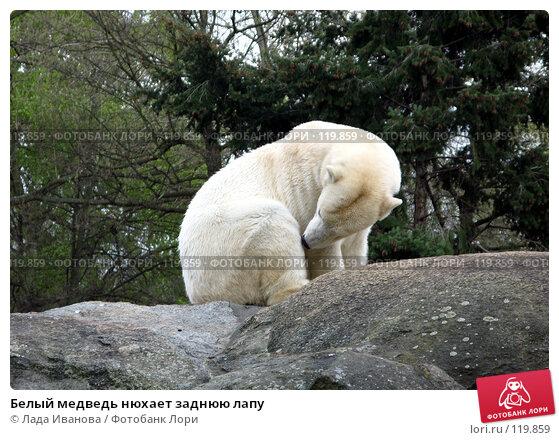 Белый медведь нюхает заднюю лапу, фото № 119859, снято 5 апреля 2007 г. (c) Лада Иванова / Фотобанк Лори