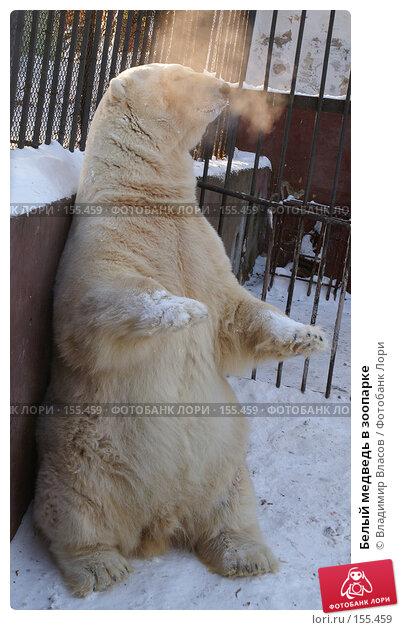 Белый медведь в зоопарке, фото № 155459, снято 20 января 2005 г. (c) Владимир Власов / Фотобанк Лори