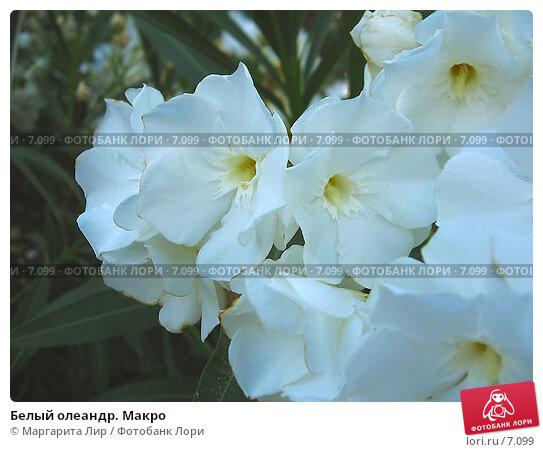 Белый олеандр. Макро, фото № 7099, снято 8 июля 2006 г. (c) Маргарита Лир / Фотобанк Лори