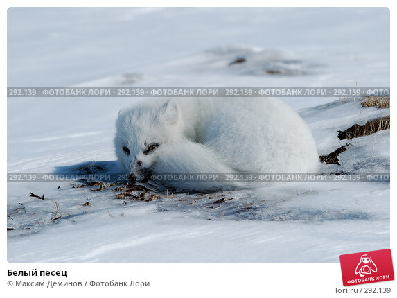 Белый песец, фото № 292139, снято 20 мая 2008 г. (c) Максим Деминов / Фотобанк Лори