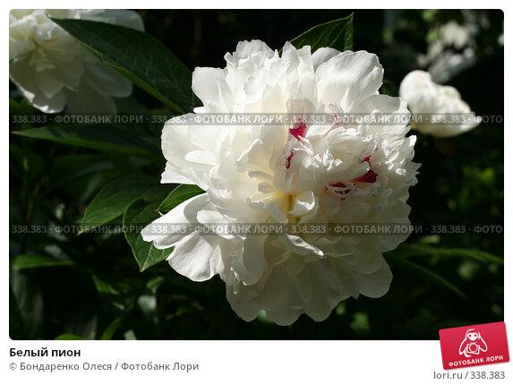 Белый пион, фото № 338383, снято 28 июня 2008 г. (c) Бондаренко Олеся / Фотобанк Лори