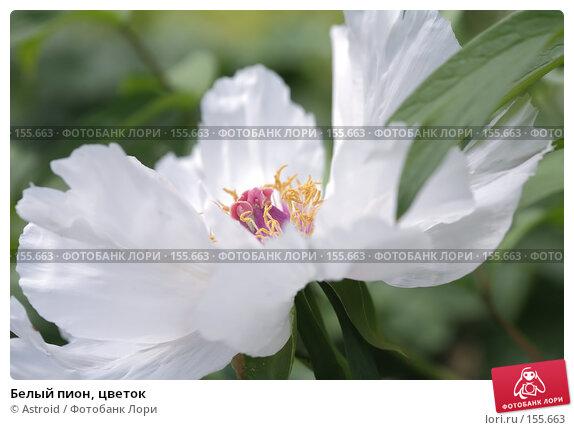 Белый пион, цветок, фото № 155663, снято 29 мая 2007 г. (c) Astroid / Фотобанк Лори