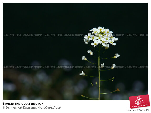 Купить «Белый полевой цветок», фото № 246719, снято 4 апреля 2008 г. (c) Demyanyuk Kateryna / Фотобанк Лори