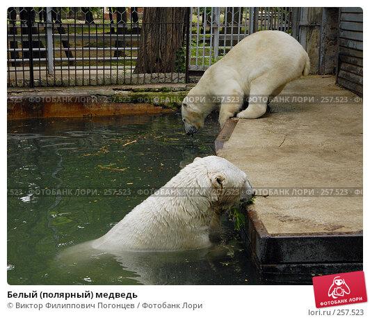 Белый (полярный) медведь, фото № 257523, снято 20 июня 2007 г. (c) Виктор Филиппович Погонцев / Фотобанк Лори