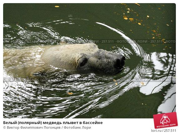 Белый (полярный) медведь плывет в бассейне, фото № 257511, снято 20 июня 2007 г. (c) Виктор Филиппович Погонцев / Фотобанк Лори