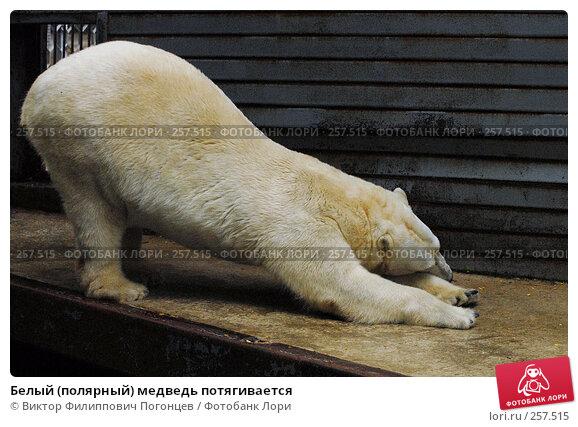 Белый (полярный) медведь потягивается, фото № 257515, снято 20 июня 2007 г. (c) Виктор Филиппович Погонцев / Фотобанк Лори