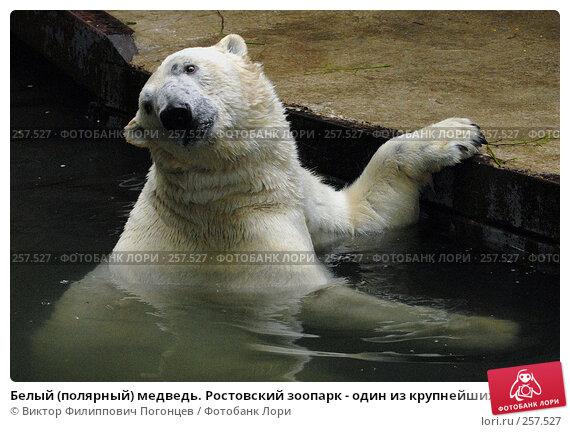 Белый (полярный) медведь. Ростовский зоопарк - один из крупнейших в Европе., фото № 257527, снято 20 июня 2007 г. (c) Виктор Филиппович Погонцев / Фотобанк Лори