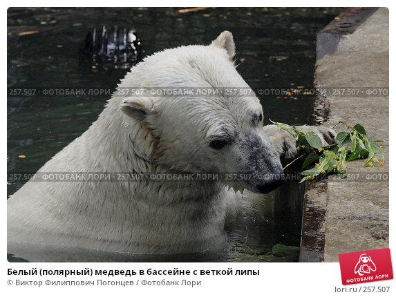 Белый (полярный) медведь в бассейне с веткой липы, фото № 257507, снято 20 июня 2007 г. (c) Виктор Филиппович Погонцев / Фотобанк Лори