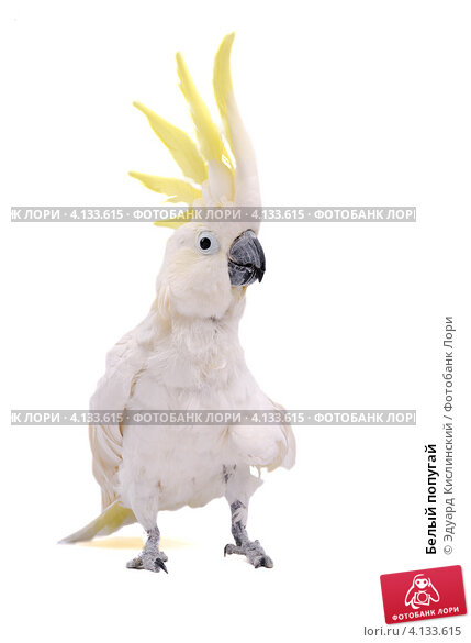 Купить «Белый попугай», фото № 4133615, снято 18 марта 2010 г. (c) Эдуард Кислинский / Фотобанк Лори