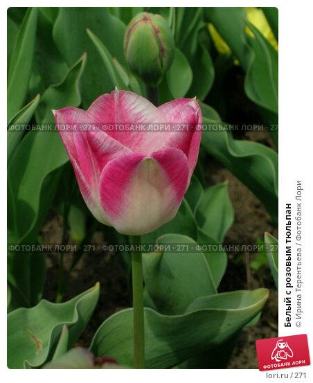 Белый с розовым тюльпан, эксклюзивное фото № 271, снято 11 мая 2004 г. (c) Ирина Терентьева / Фотобанк Лори