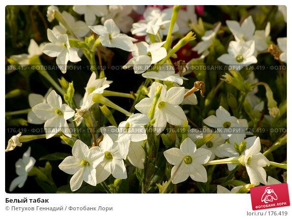 Купить «Белый табак», фото № 176419, снято 24 июля 2007 г. (c) Петухов Геннадий / Фотобанк Лори