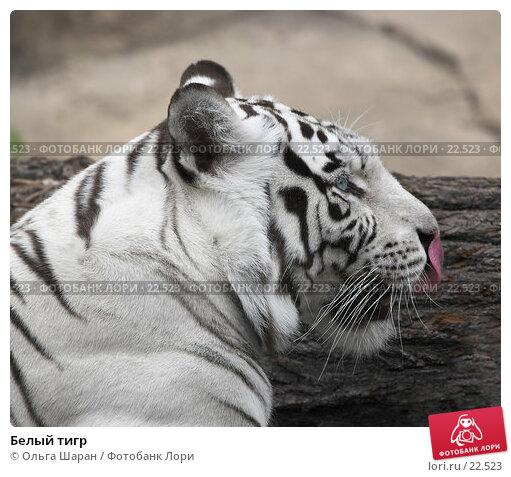 Белый тигр, фото № 22523, снято 25 июля 2006 г. (c) Ольга Шаран / Фотобанк Лори