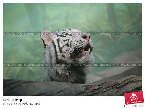 Купить «Белый тигр», фото № 97727, снято 16 марта 2007 г. (c) Astroid / Фотобанк Лори